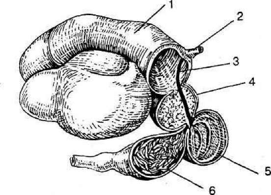 Схема сложного желудка жвачных